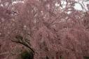 floweringtreedetail