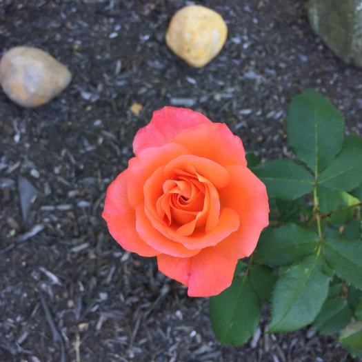 MA's Rose